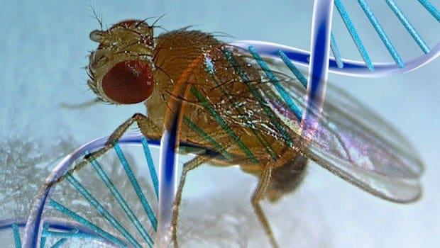 Frutta e moscerini: il mondo di Drosophila melanogaster